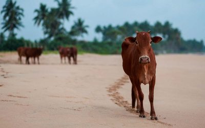 ¿Por qué son las vacas sagradas en la India?