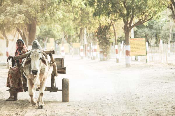 Vacas sagradas en la India